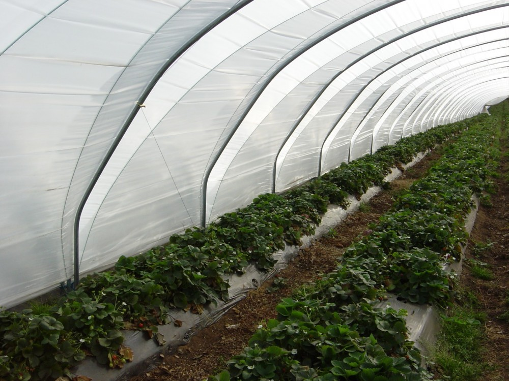 Replacement polythene & nets | Haygrove - respected berry
